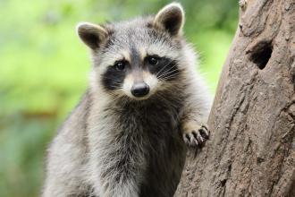 Raccoon latrines and risk of Baylisascaris transmission
