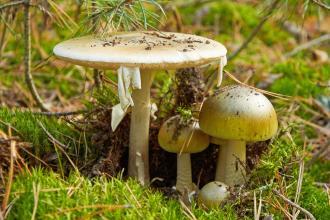 Amanita phalloides (death cap mushroom)