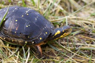 A spotted turtle