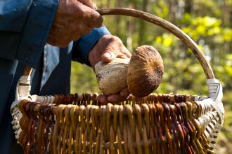 A pair of hands places a large mushroom in a woven basket outdoors.