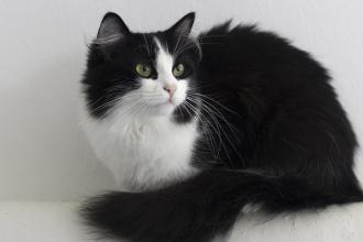 A black-and-white cat