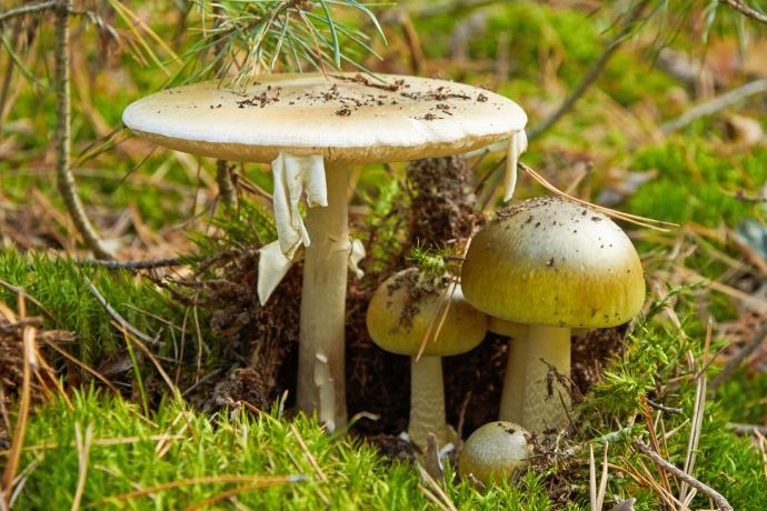 The world's most poisonous mushroom, Amanita phalloides, is growing in BC