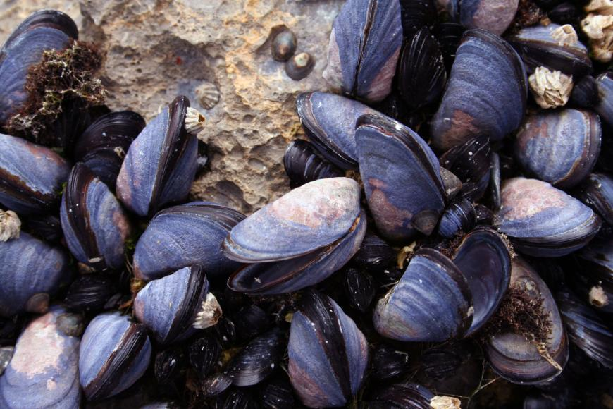 Human health implications following detection of oxycodone in mussels collected in Washington State