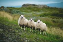 Three sheep standing on a green hillside, staring at the camera.