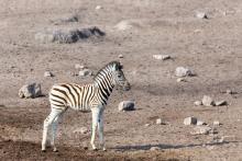 A baby zebra