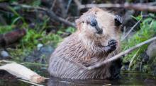 A Canadian beaver