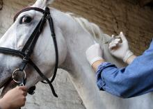 Vet injecting horse in barn