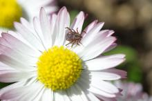 Tick (lat. Acarina) on a Daisy flower