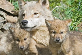 A wolf and two pups