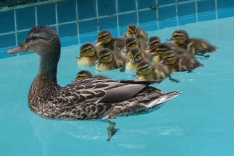 A female Mallard duck and her babies, in a pool
