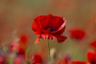 Poppy to mark Remembrance Day