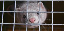 A mink looks out from inside a cage