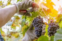 Farmer pruning grapes to make wine