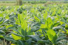 Green tobacco plantation